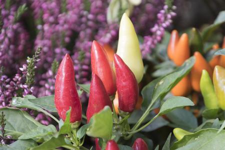 chili on plant Stock Photo