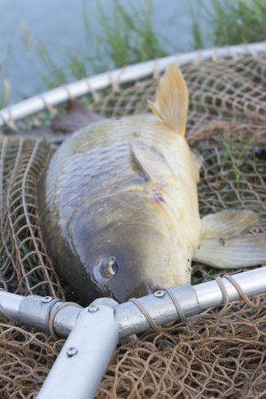 gills: fishing at the pond carp Stock Photo