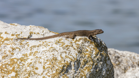 forked: lizard on rock