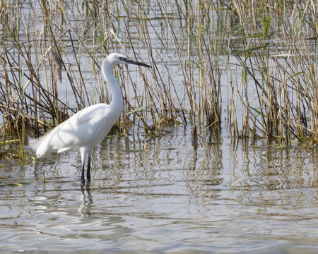 heron: white heron at lake