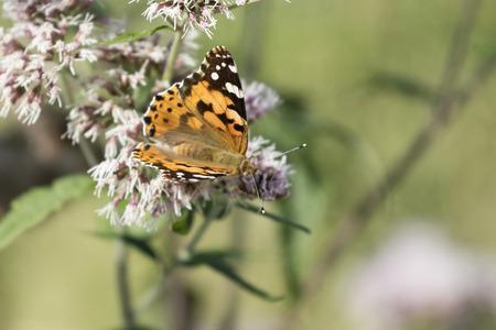 Wildflower: butterfly on wildflower Stock Photo