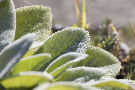 efflorescence: succulent plant in the garden Stock Photo