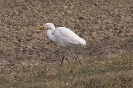 dick: white heron in the field