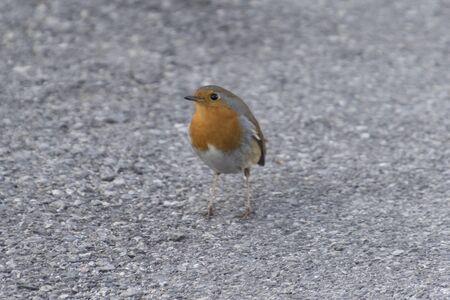 redbreast: cute robin on street Stock Photo