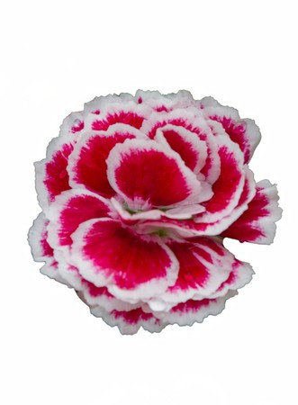 isolated carnation in the garden Stock Photo