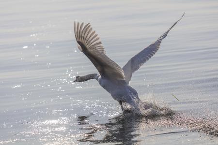 skimming: swan flying skimming the water on lake Stock Photo