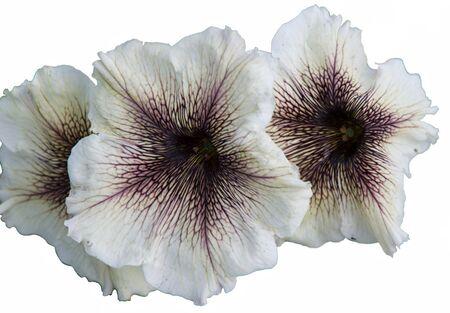isolated petunia flower in spring season