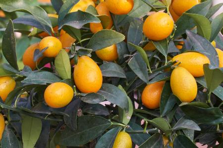 Kumquat on tree
