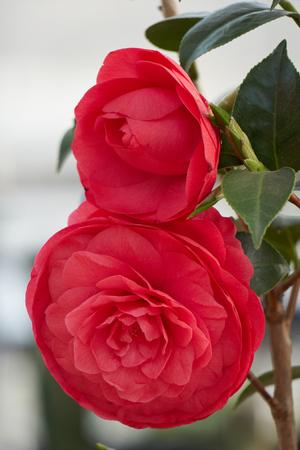 flor de peonia roja en flor en primavera Foto de archivo