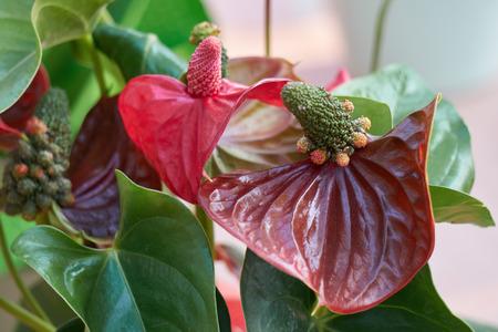 red  anthurium in the vase