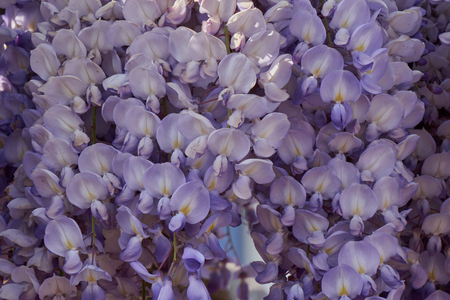 wisteria in bloom in the garden