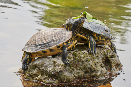 two cute turtles rest at sun on pond