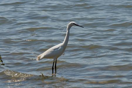birdwatching: white heron on pond Stock Photo