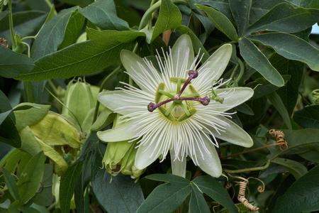 Passiflore en fleurs au printemps Banque d'images