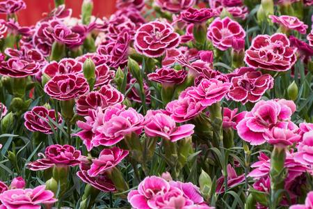 春に咲くカーネーション