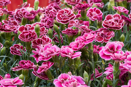 carnation in bloom in spring