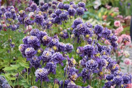 aquilegia flower in bloom in the garden