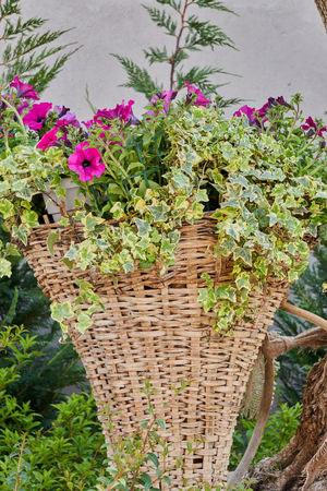 flower in bloom in the hanging basket Stock Photo