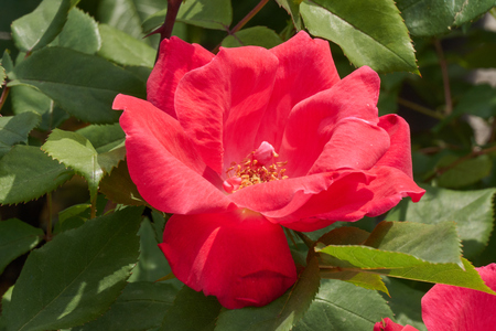 red rose for holidays