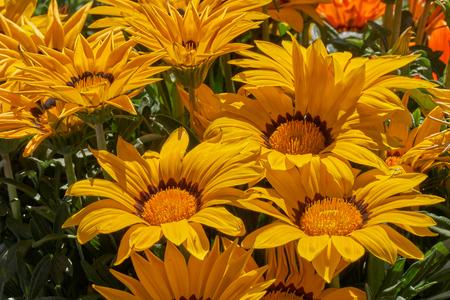 garzania flower in bloom in the garden in spring