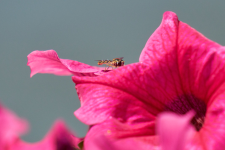 bee on petunia in the garden Stock Photo