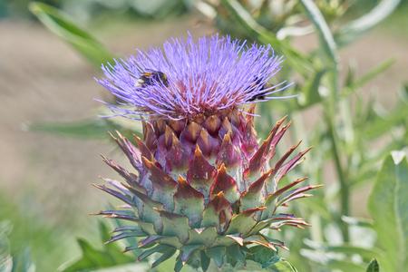 Alcachofa en flor en el jardín con la abeja Foto de archivo - 80255717