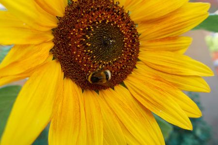 bee sucks nectar on sunflower Banco de Imagens