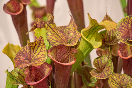 carnivorous plant in the tropic garden