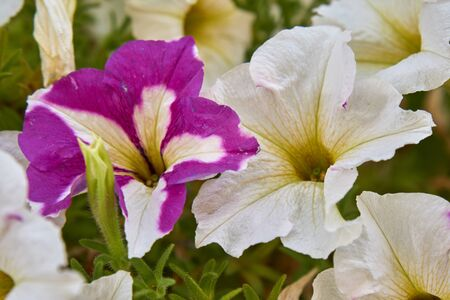 petunia flower in bloom