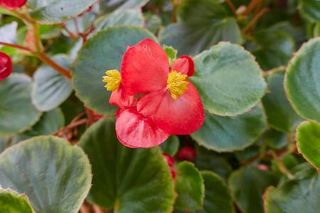 begonia in the garden