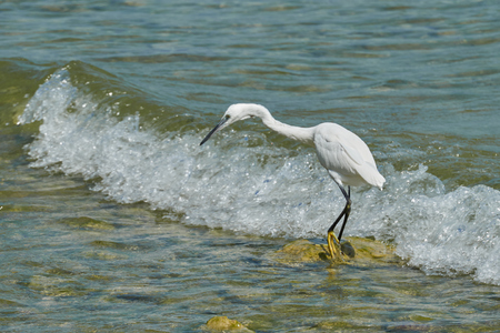 water ecosystem: white heron at lake