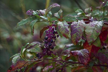 herbaceous: Phytolacca floweror arborea turkish grapes Stock Photo