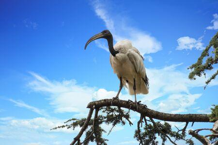 sacred ibis bird on tree