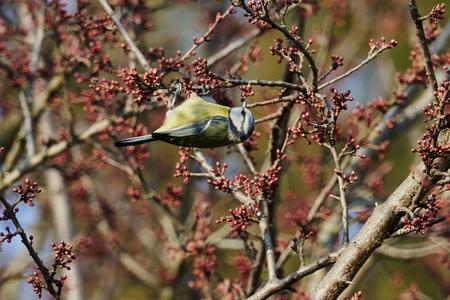 cinciarella blue tit bird