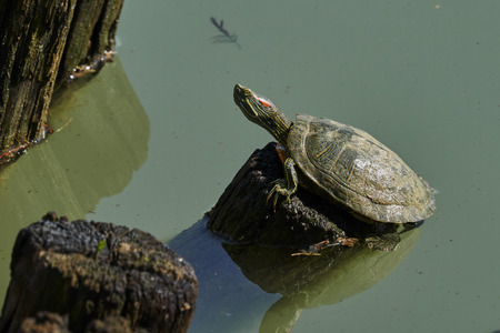 cute turtles rest at sun on pond Stock Photo