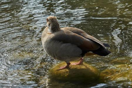 moorhen duck on lake