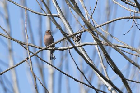 finch fringilla coelebs bird
