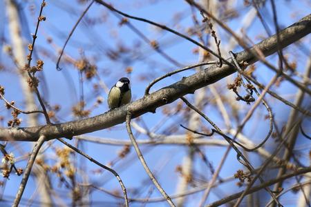 great tit bird on tree