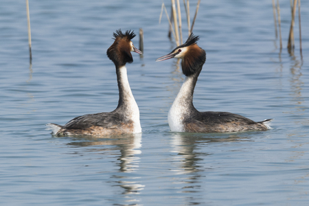 courtship of the great crested grebe Stock Photo