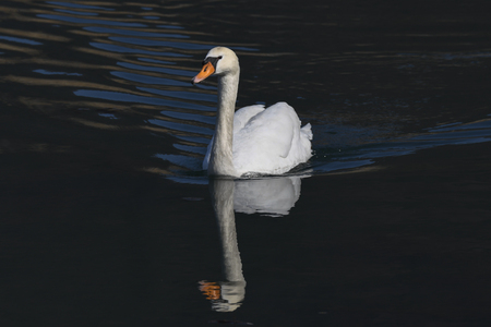 bath time for swan Фото со стока