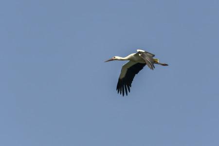 white stork flying in the blue sky Reklamní fotografie