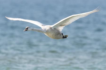 swan flying on lake