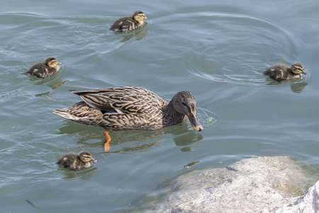 duck and duckling on lake Stock Photo