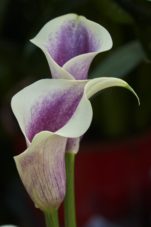 colored calla lily in the garden