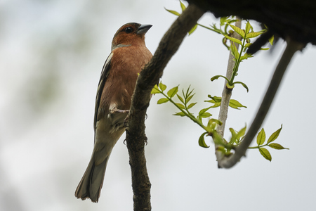 finch fringilla coelebs bird on tree Stock Photo