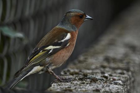 finch fringilla coelebs bird on tree Stock Photo