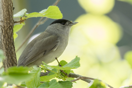 male blackcap on tree