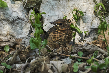 song thrush turdus philomelos at park