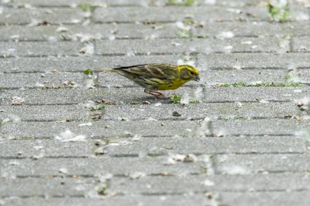 serinus serinus  bird just born in the street Archivio Fotografico - 100851823