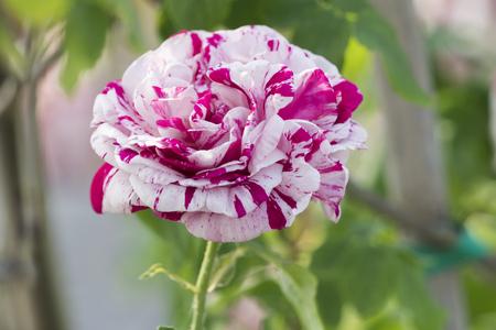 bicolor rose in bloom in the garden